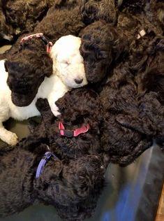 Poodle babies
