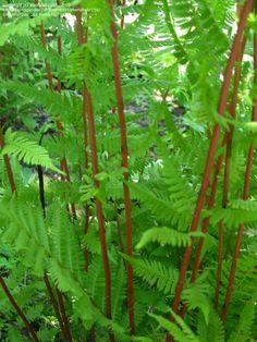 Lady in Red fern Part Sun Perennials, Wood Fern, Lady Fern, Red Dwarf, Eastern Star, Parts Of A Plant, Heuchera, Geraniums, Ferns