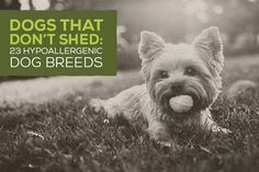 Non-shedding and hypoallergenic dogs seem to be more popular than ever. With dog allergies so common, many pet lovers are seeking hypoallergenic dog breeds - sometimes paying thousands of dollars to get them. And still others are going hypoallergenic for the hair, or lack of it. Dog shedding is a bi
