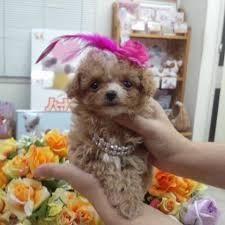 ポメプー 成犬 の画像検索結果 検索 ショッピング