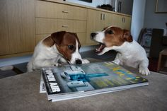 Jack Russell's doing their thing.......Turn the page!