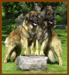 Leonbergers..  what a nice couple of bergers enjoying their life together...beautiful!