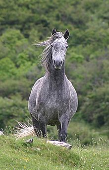 The Connemara breed comes from Ireland where it's still popular to this day. They are usually utilized for riding, hunting, and competitions, as well as general work. They have a good temperament and are very giving.