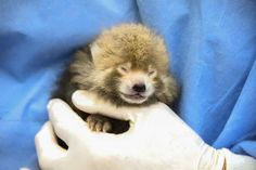 Born on June 16, 2014, this little red panda is being hand-reared at the Smithsonian Conservation Biology Institute and is thriving, according to officials.