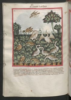 Cod. Ser. n. 2644, fol. 69v: Tacuinum sanitatis: Anates et ansares