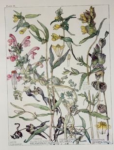 1910 Botanical Print by H. Isabel Adams: Figwort by PaperPopinjay