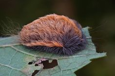 No warm and fuzzy here—a possible boom in a highly toxic but irresistibly touchable caterpillar is sending people in the eastern U.S. to the hospital. http://newswatch.nationalgeographic.com/2014/09/16/toxic-toupee-explaining-the-most-venomous-caterpillar-in-the-u-s/