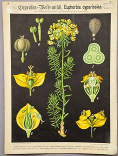 antique botanical wall chart ca 1900 cypress spurge e5423 #Vintage