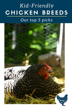 If your family is looking to raise chickens, the first thing you'll need to know is how to pick chicken breeds for kids. There are many chicken breeds that are super kid-friendly, these are our top five picks! Types Of Chickens, Raising Backyard Chickens, Keeping Chickens, Best Egg Laying Chickens, Backyard Poultry, Backyard Farming, How To Raise Chickens, Portable Chicken Coop, Best Chicken Coop