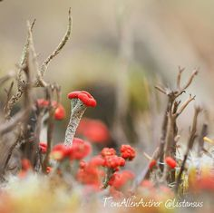 I've now learnt that these teeny weeny fungi are called matchstick lichen. They're also known as devil's lichen because of their fiery tops!  #jaketalbotinvestigates #JTI #amwriting #writersofinstagram #writerslife #lichen #matchsticklichen #devilslichen #magical #macro_secrets #macro_perfection #macro_captures #macronature #flowersandmacro #ig_macro #amazingcaptures #macro_freaks #macrogram #macro_holic #lovethis #photooftheday #naturelovers #fungi #amazingcaptures