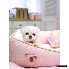 Tiny Teacup Maltese Puppy