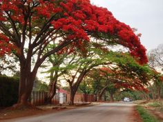 Flame Trees, Harare, Zimbabwe Places To Travel, Places To Visit, Flame Tree, Out Of Africa, Thinking Day, Photo Tree, Places Of Interest, Wonders Of The World, Beautiful Places