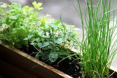 Veja alguns chás que você pode ter na sua horta, mesmo quem mora em apartamento, para que servem e como plantar!