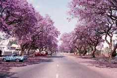 Harare, jacarandas.