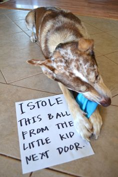 Dog Shaming - I stole this ball from the little kid next door