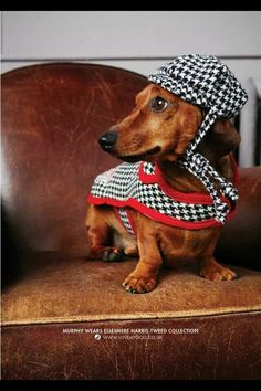 Looks like this Dachshund is ready to go to work at Scotland Yard. #puppied