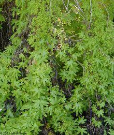 Tips For Organic Gardening Ferns Garden, Garden Shrubs, Shade Garden, Winter Plants, Winter Garden, Labyrinth Garden, Forest Plants, Gardening Zones, Fern Plant