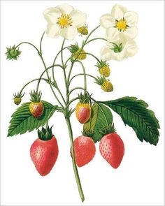 Strawberry by French painter Pierre-Joseph Redouté - I NEED THIS!