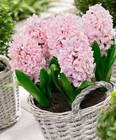 Hyacinten 'Apricot Passion' ® - Bloembol    http://www.bakker-hillegom.nl/product/hyacinten-apricot-passion-/
