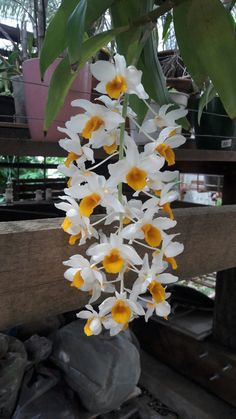 Orchid Varieties, Dendrobium Orchids, Real Beauty, Bonsai, Invitations, Beautiful Roses, Nature, Flowers, Plants