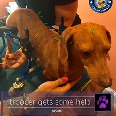 Trooper got some needed acupuncture yesterday with Dr Karen Collins and friends. His wounds are completely healed and Trooper will get some serious time in swim therapy this coming week. How about a round of encouragement for this little guy in the form of some comments, likes and shares? He sure is working hard!