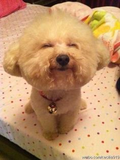 happy little bichon :) via www.spoiltdoggie.co.uk