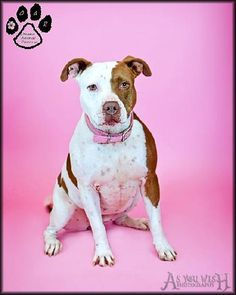 Meet Pickles, a Petfinder adoptable Pit Bull Terrier Dog | Tempe, AZ | You can fill out an adoption application online on our official website.Pickles is a 4 yr old...