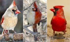 Nature seems to have things in hand....  The lonely life of the half-male half-female bird: Northern cardinal with bizarre split plumage is ignored by its peers in Illinois