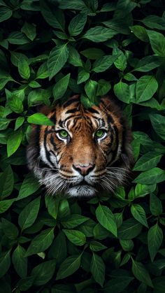 The Tea On The Royals With A Side Of Cute Animals, Beautiful Destinations, Delicious Recipes And Tiger Wallpaper Iphone, Wild Animal Wallpaper, Ocean Wallpaper, Nature Wallpaper, Iphone Wallpapers, Pretty Wallpapers, Phone Backgrounds, Beautiful Creatures, Animals Beautiful