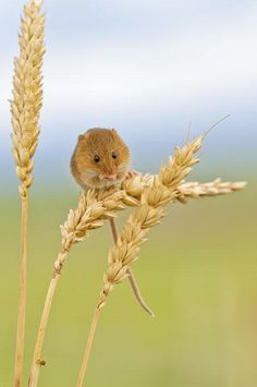Harvest Mouse on Barley.  One of the UK's leading oudoor photographers and British Wildlife Photographer of the Year winner, Ross Hoddinott is well known and highly regarded for his close up photography of insects and wild plants as well as for capturing evocative landscape images of the British Isles.. www.TheGlobalArtCompany.com