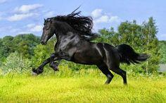Black Stallionz