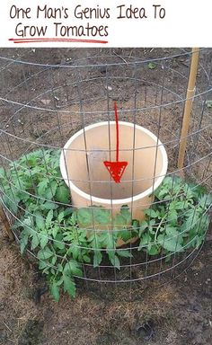 One Man's Genius Idea To Grow Tomatoes... #Tomatoes #gardening #organic
