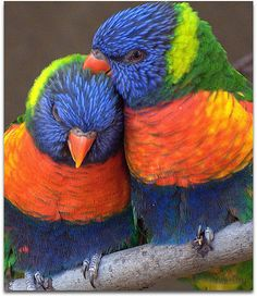 . Love, in color.  A pair of rainbow lorikeets. Beautiful