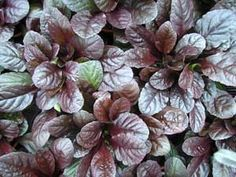 Ajuga - zone 3-9 shade or sun perennial ground cover fills in quickly  'Bronze Beauty' has very dark maroon & green leaves; 'Burgundy Glow' is a blend of dark and medium wine, green and soft white foliage.