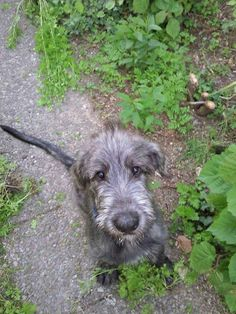 Irish Wolfhound puppy- need to bring Moose a souvenir. Big Dogs, I Love Dogs, Cute Dogs, Dogs And Puppies, Baby Puppies, Doggies, Animals And Pets, Baby Animals, Cute Animals