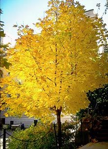 Planting some trees this Spring...Norway mapple, very resistant to poor soils, and still will give color. Yellow full flowers in the summer, yellow leaves in the Autumn.