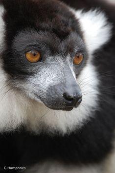A Black & White Ruffed Lemur, a Critically Endangered species native to Madagascar (Photo By: Chris Humphries.)
