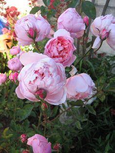 Austin English rose, 'Alnwick Rose' named for the Duke of Northhumberland's garden.   MY garden June morning 2012