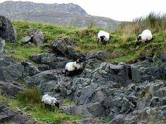Ireland: some of the famous Irish sheep wearing the famous Irish wool!