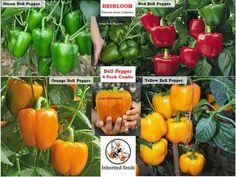 Red Bell Pepper XL HEIRLOOM 30+seeds PREMIUM strain Inherited thru 2 Generations