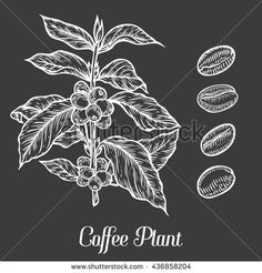Coffee Plant Branch With Leaf, Berry, Coffee Bean, Fruit, Seed. Natural Organic Caffeine. Hand Drawn Sketch Vector Illustration Coffe On. Green Coffee, ...