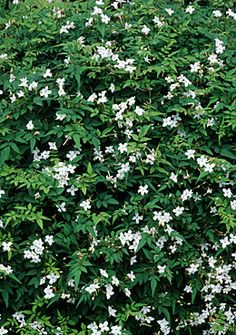 Jasmine officinale - common jasmine. Wonderfully scented flowers attract bees and butterflies during the day and moths in the evening,