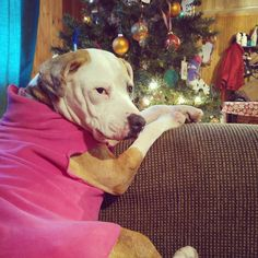 Just waiting for Santa Paws...  #santa #christmas #christmastree #happyholidays #woof #dogstagram #dogsofinstagram #cutedogs #seniordog #ilovedogs #doglovers #petsofinstagram #dogoftheday #