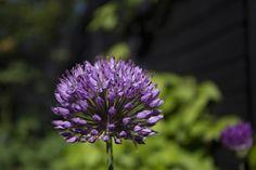 Allium x hollandicum 'Purple Sensation' flower head in Scottish garden
