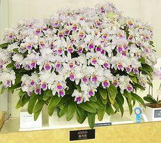 Orchid Cattleya trianae