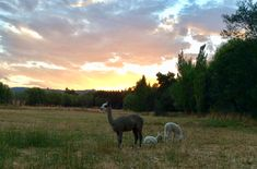 Alpaca in the paddock at sunset - Alpacas, Country Living, Sunset, Flowers, Animals, Country Life, Animales, Animaux, Animal