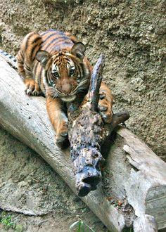 Connor the tiger cub