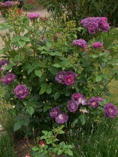 Spectacular Reichbl hende Kleinstrauchrose gesunde und pflegeleichte Rosensorte Rosenparadies Loccum