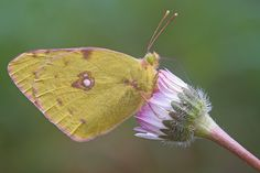 Macrofotografia farfalla Colias croceus su fiore