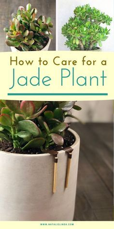 Learn how to care for a jade plant! Jade plants are beautiful succulents that grow on woody stems and can grow like a rounded shrub! This guide will teach you how to grow jade outdoors or as an indoor succulent so you can enjoy its beauty. Cactus House Plants, Jade Plants, House Plants Decor, Cacti Garden, Cactus Cactus, Indoor Succulent Garden, Types Of Cactus Plants, Garden Bed, Cactus Flower